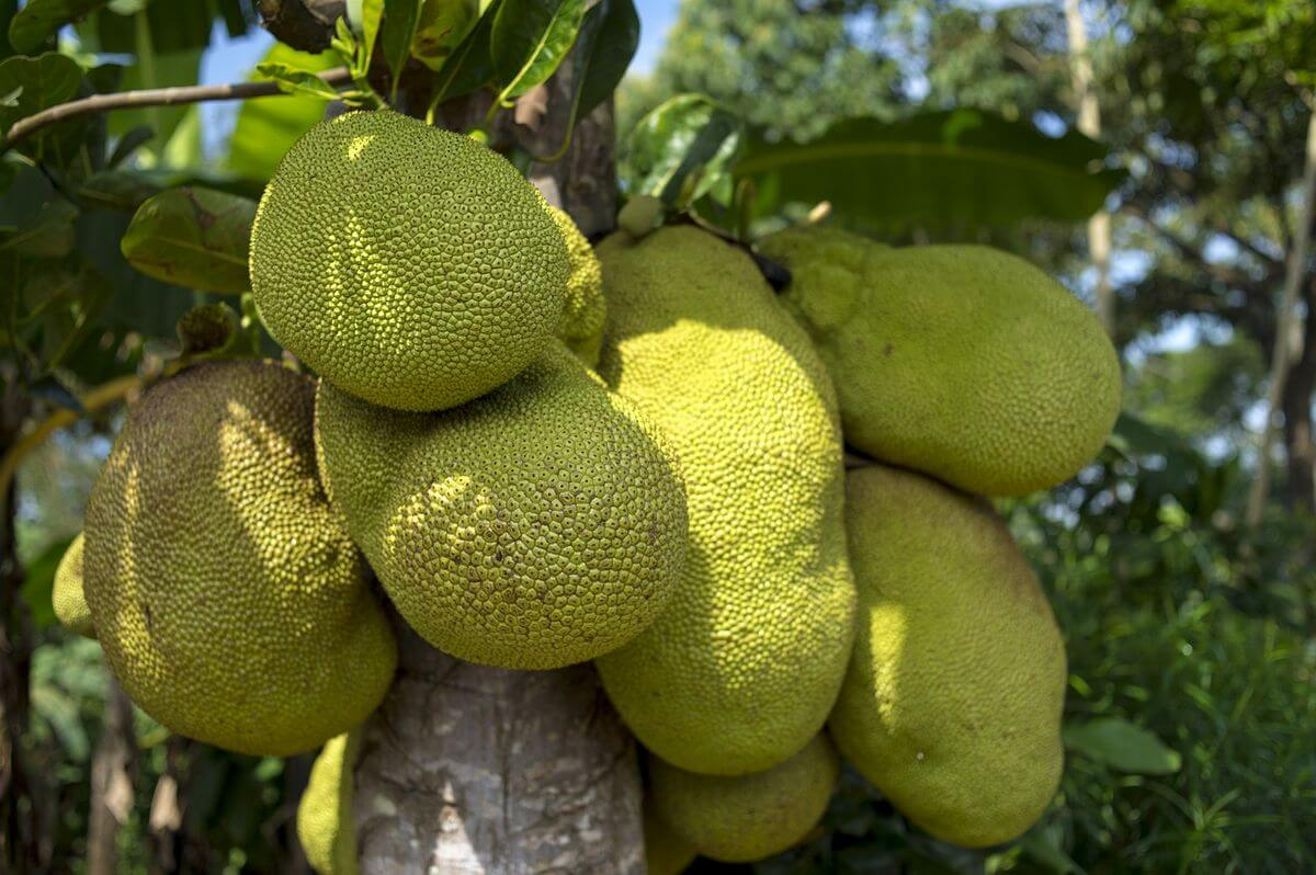 benefits of the african breadfruit African bread fruit (treculia african decne) is a member of the maraca family the seed s are highly nutrition and constitute a source of vitamins, minerals protein, carbohydrate and fat (okafe and okow 1994, make ride and elema, 1985.